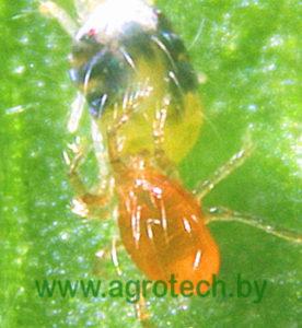 Phytoseiulus persimilis