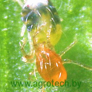 phytoseiulus-persimilis