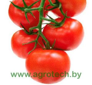 Tomat MINARET F1 Syngenta 500 shtuk